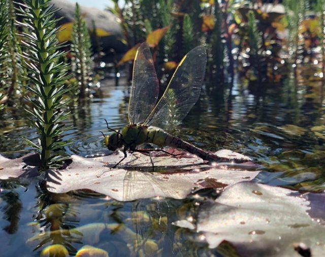 A dragonfly rests on a leaf on a pond
