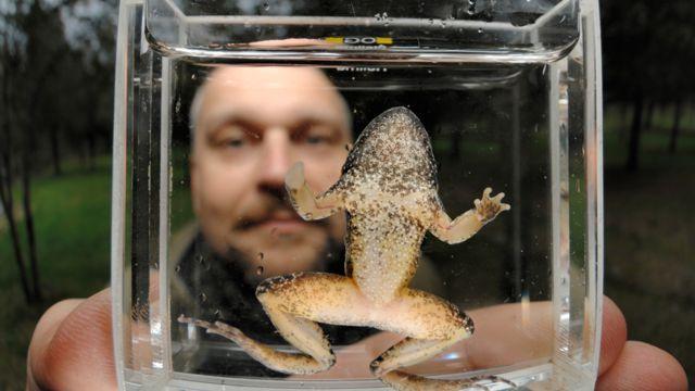 Trent Garner con un sapillo pintojo sardo (Discoglossus sardus) infectado por quitridio