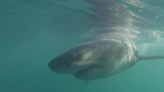 great white shark research papers Great white shark videos and latest news articles globalnewsca your source   the almost four-metre-long shark was tagged by the research group ocearch.