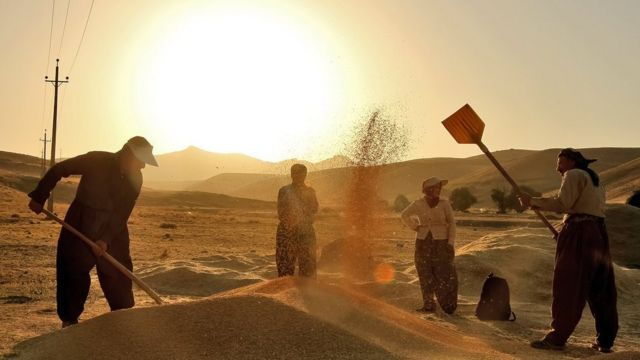 برداشت گندم در استان کردستان