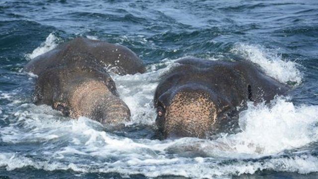 இலங்கை: கடலில் மூழ்கிய யானைகள் கடற்படையினரால் மீட்பு
