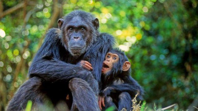 самка шимпанзе с детенышем
