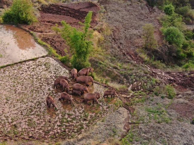 Стадо слонов, снятое с дрона