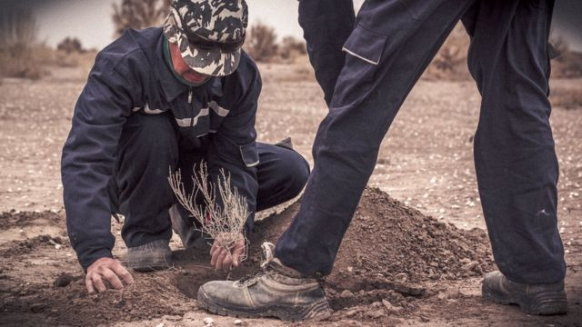 Plantação de árvores saxaul no leito do Aral