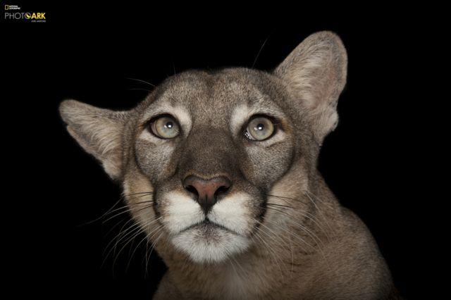 Florida Bəbiri (Puma Concolor coryi) Lowry Park Zooparkı, Florida © Joel Sartore/National Geographic Photo Ark