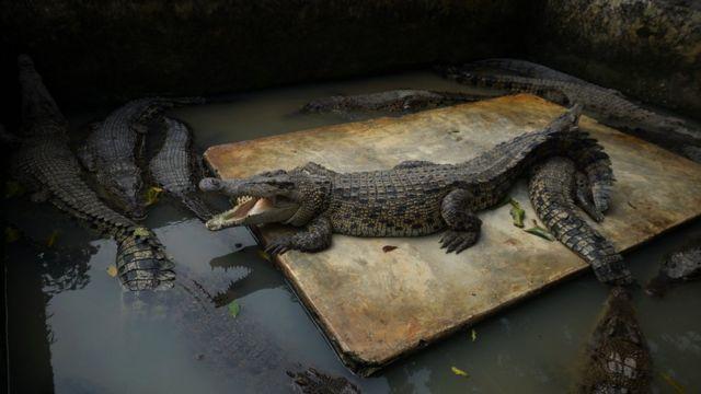 Crocodilos na Indonésia