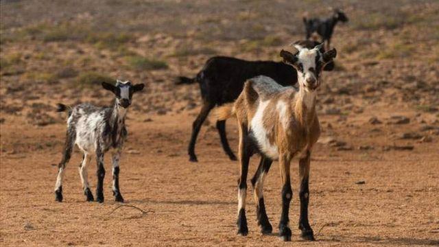 Cabras en el desierto.