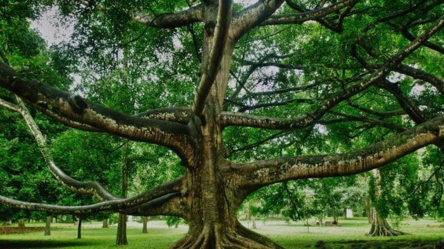 La Increíble Historia Del árbol Que Más Ha Influido En La Historia De La Humanidad Bbc News Mundo