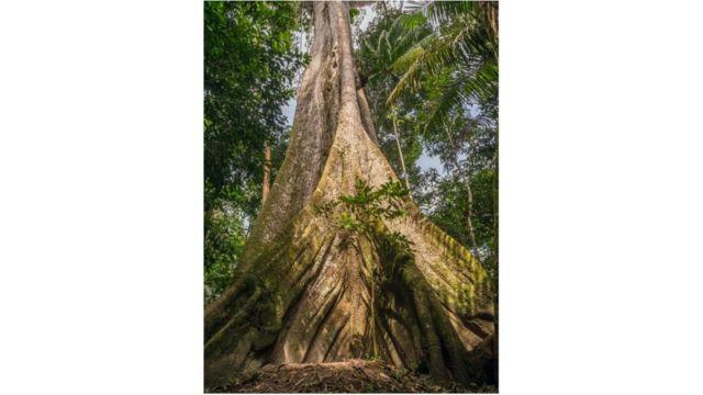 Tronco de árvore amazônica