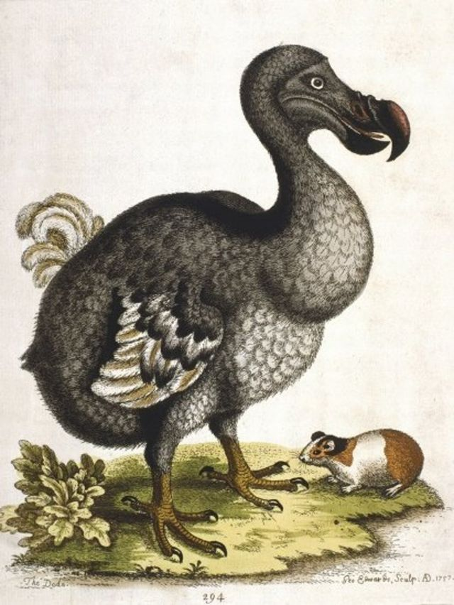 渡渡鸟画像
