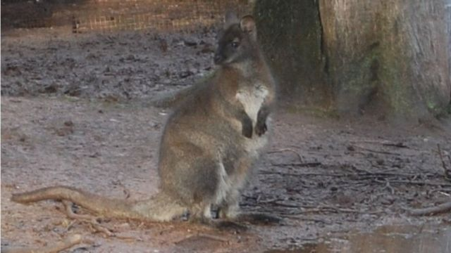 Captured wallaby