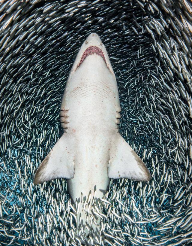 Tiburón tigre rodeado de peces
