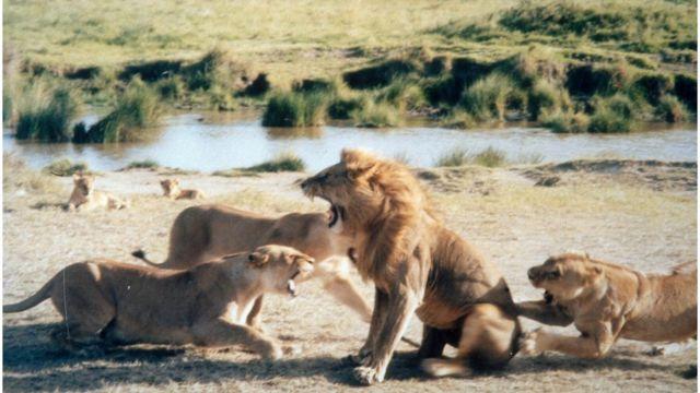 Singa betina berkelahi dengan singa jantan