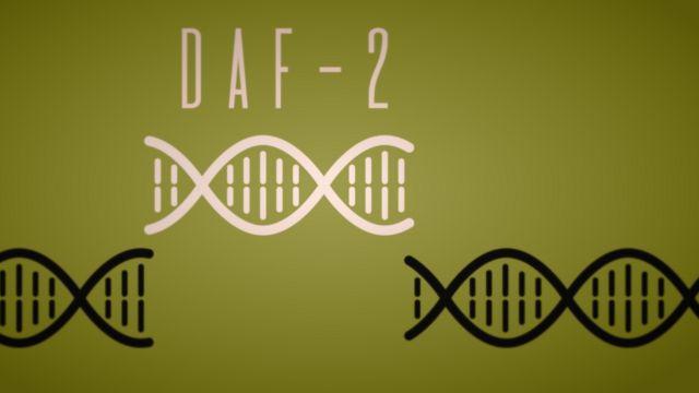 Ilustración del gen daf-2
