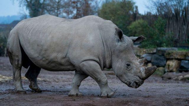 Male South white Rhinocero