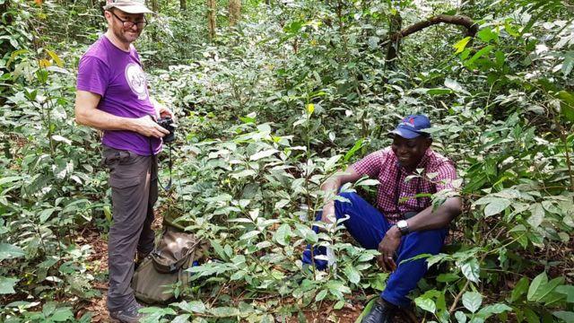O stenophylla foi redescoberto crescendo em condições selvagens em Serra Leoa