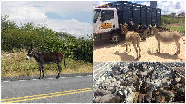 Jumento solto em estrada no RN, ação de recolhimento no Piauí e animais a serem abatidos na Bahia