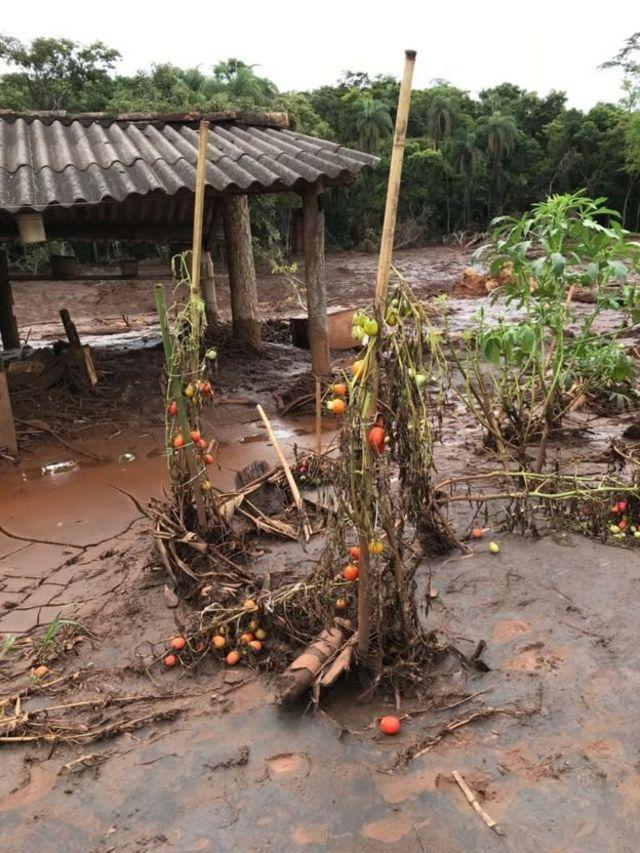 Plantação tomada por lama em Brumadinho