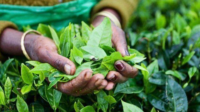 人类饮绿茶的历史已经有数千年。