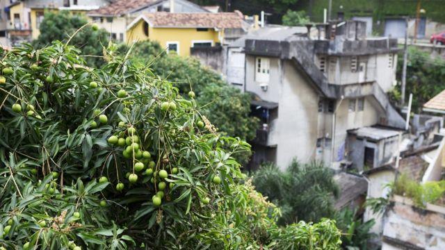 A mango tree growing amongst buildings in a favela in Rio de Janeiro, Brazil