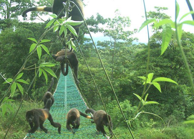 Monos aulladores con parches amarillos