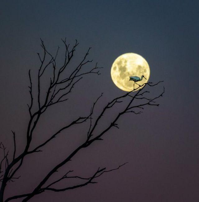 Un espátula real parado en las ramas de un árbol sin hojas, a la luz de la Luna