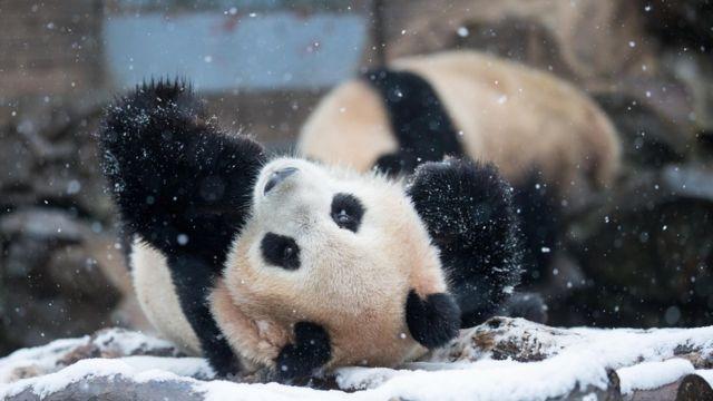 Панда играет в снегу в китайском зоопарке