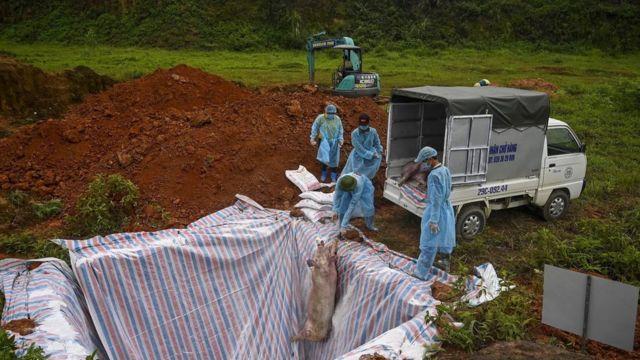 انتشر مرض آخر حول العالم وألحق أضرارا جسيمة بقطاع تربية الخنازير وهو مرض حمى الخنازير الأفريقية