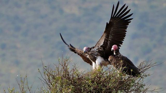 Vultures building nest
