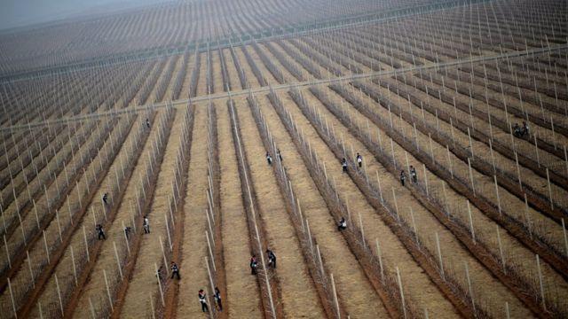 Agricultores em colheita de maçã perto de Pyongyang, na Coreia do Norte, em 2012