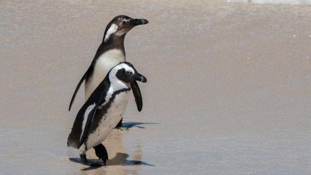 pinguins africanos na boulder beach