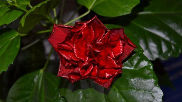 """Урсула, Чехия: """"Цветение китайской розы. У меня цветет цветок от моей бабушки, которой бы в этом году был сто один год""""."""