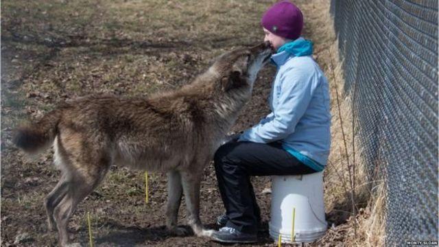 สุนัขป่าที่ถูกมนุษย์นำมาเลี้ยง ให้ความสนใจกับมนุษย์ในระยะเวลาสั้นๆ เท่านั้น