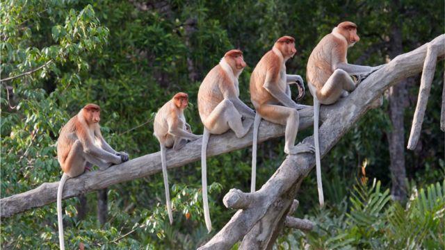 Los monos tienen cola, a diferencia de los humanos y grandes simios.