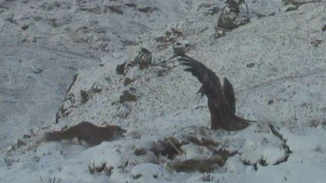 A fox and an eagle fight over a carcass
