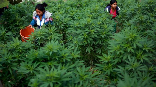Cultivo de marihuana