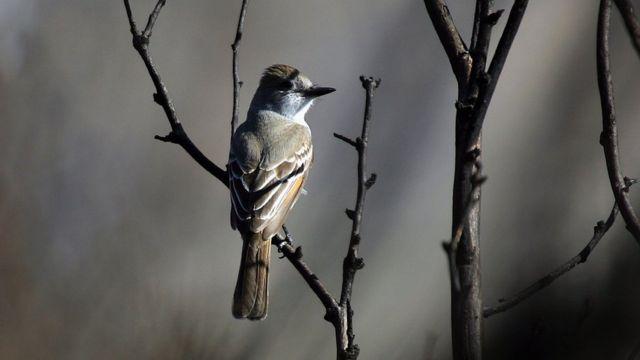 Pájaro cantor de Calfironia