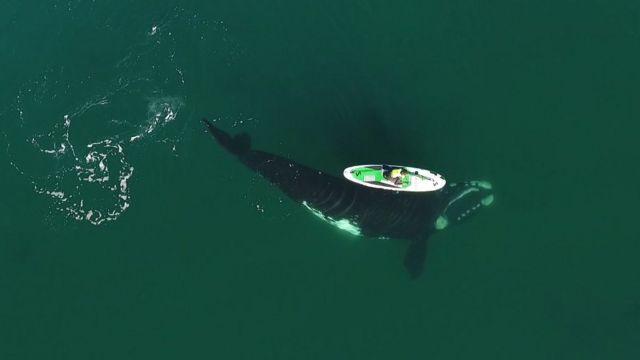 La ballena pasa debajo de una mujer en una tabla.