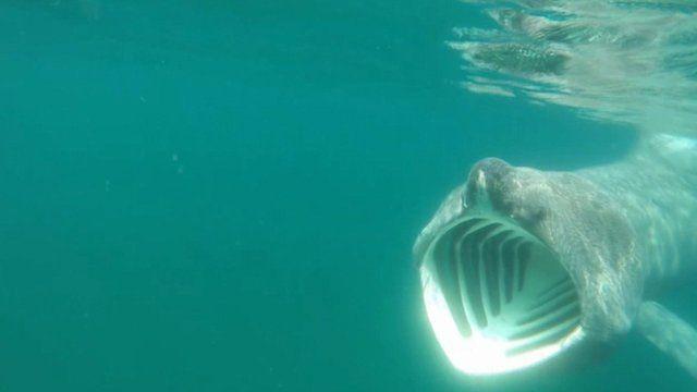 isle of man kayaker s close encounter with basking shark bbc news