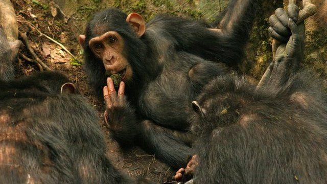 Sonso chimps using leaf sponges (c) Catherine Hobaiter