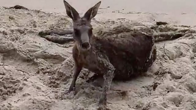 Kangaroo lies on the beach after being rescued in Victoria