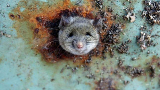 पार्कों व सार्वजनिक स्थानों पर रखे जाने वाले कूड़ेदानों को इस तरह से बनाया जा रहा है कि उसमें चूहे घुसकर उछल-कूद न कर सकें