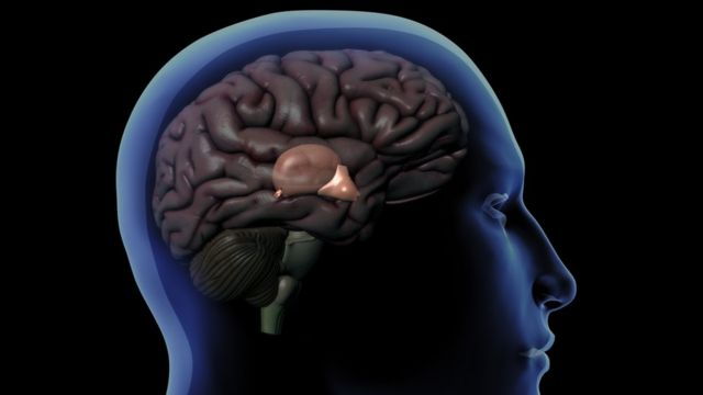 Drawing of a brain within the human skull showing the pineal gland behind the hypothalamus