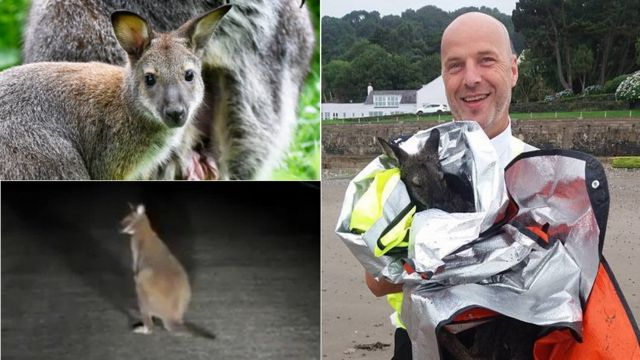 Isle of Man wallaby-related police call-outs revealed