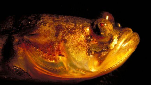 Porichthys (c) Andrew Bass