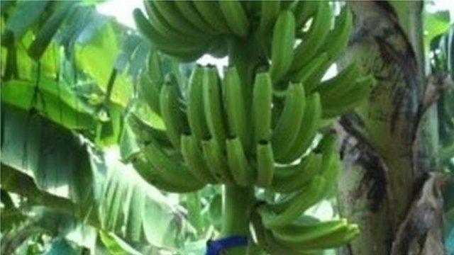 Bunch of bananas growing on tree