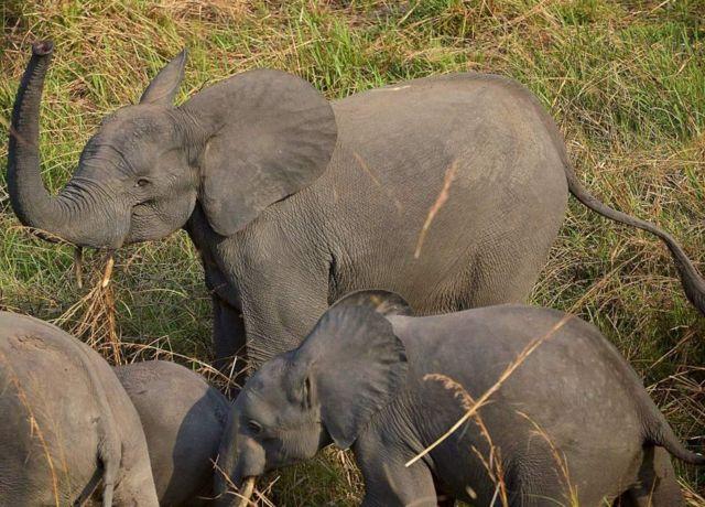 Gabon inaamiwa kuwa na idadi kubwa zaidi ya ndovu wa msituni waliosalia.