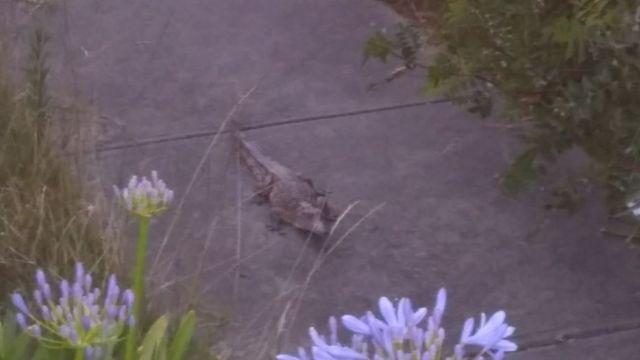 A crocodile found on a Melbourne footpath on Christmas Day