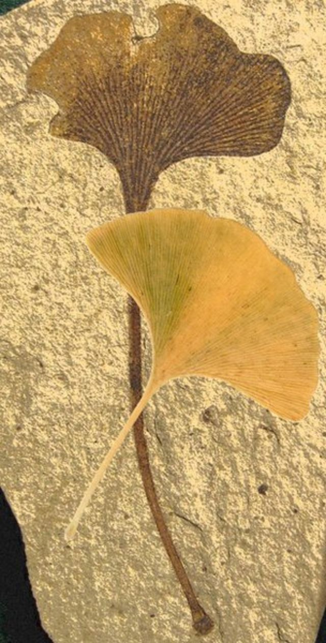 Ginkgo 'living fossil' genome decoded