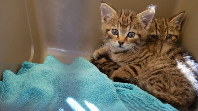 Scottish wildcat: 'Rarest kittens' in the world rescued, group says